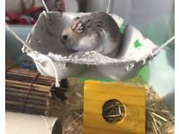 Rescue hamster for adoption