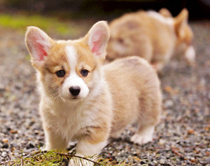 Looking for corgi puppy