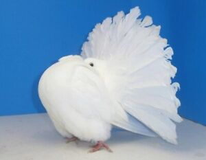 Pigeons | Adopt Local Birds in Calgary | Kijiji Classifieds