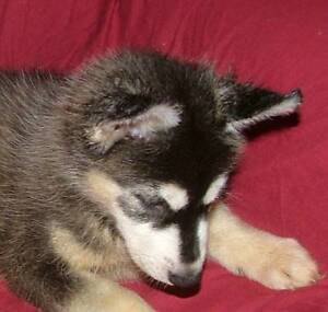 Pure bred Husky Puppies, pedigreed, vaccinated, Micro chipped Maroochydore Maroochydore Area Preview