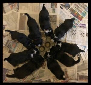 Pure Bred Bernese Mountain Dog Pups