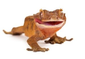 Looking for a FEMALE Crested Gecko