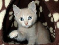 """Baby Male Cat - Domestic Short Hair - buff: """"Ozzie"""""""
