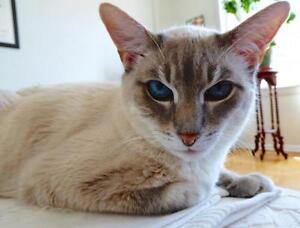 "Senior Male Cat - Domestic Short Hair-Siamese: ""Champ"""