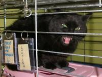 "Adult Female Cat - Domestic Short Hair: ""Durzo 15 (Dorchester)"""