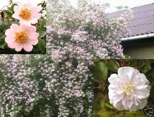 Wildrosen schnellwüchsige Kletterpflanzen Kletterrosen winterharte Blumen Garten