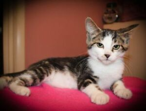 "Baby Female Cat - Domestic Short Hair: ""Gertrude"""