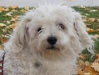 "Senior Male Dog - Maltese-Poodle: ""Neil Young"""
