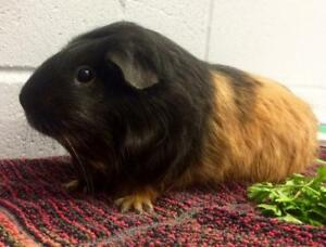 Adult Female  - Abyssinian-Guinea Pig