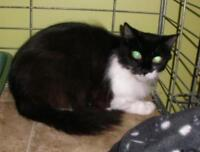 """Young Female Cat - Domestic Short Hair: """"Nisha 15 (dropped off)"""""""