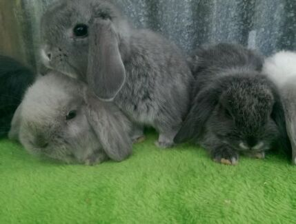 BLUE MINI LOPS QUALITY CARE BABY RABBITS HUTCHES STARTUP DEALS Londonderry Penrith Area Preview