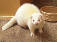 Lovely Albin ferret free for a new family!