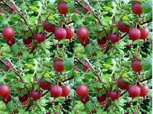 3 pz piante uva spina rossa arbusto h 20 cm frutti di for Piante da uva in vaso