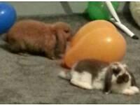 Adorable lop bunnies