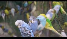 BUDGIE BUDGIE SALE Thomastown Whittlesea Area Preview