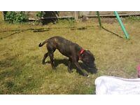 Beautiful Brindle Staffordshire Bull Terrier Female Puppy