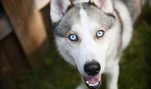 LOOKING FOR HUSKY PUPPY PREFERABLY MALE WITH BLUE EYES.