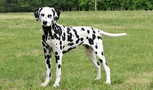 Any Dalmatians puppy's of dogs for sale ?