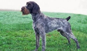 ISO-GermanWirehaired Pointer