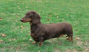 Looking for a Miniature Dachshund (sausage dog) Tatura Outer Shepparton Preview