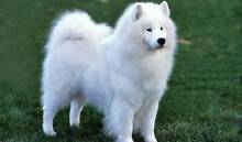Looking for a Samoyed puppy in Tamworth NSW Oxley Vale Tamworth City Preview