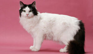 LOOKING FOR A RAGAMUFFIN KITTEN