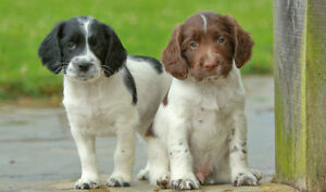 Wanted: English Springer Spaniel puppy with full tail