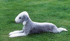 Looking for a male Bedlington Terrier puppy