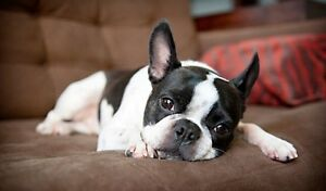 We are looking for a Boston Terrier Puppy