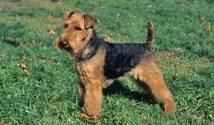 Welsh Terrier/ Bichon puppies
