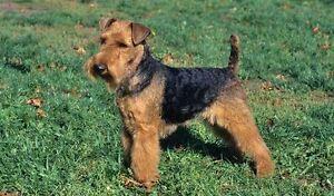 Welsh Terrier/ Bichon puppies
