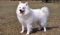 6 years old female  American Eskimo looking for loving family