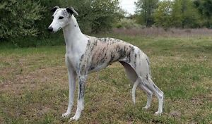Looking for a Whippet