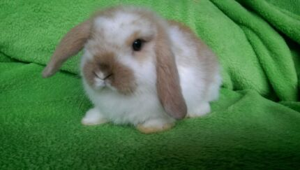 QUALITY CARE MINI LOP BABY RABBITS GIRLS HUTCH DEALS RABBIT MIX Londonderry Penrith Area Preview