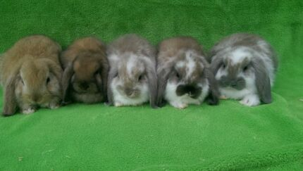 QUALITY CARE BABY GIRL MINI LOPS HUTCH START UP DEALS COMB DEALS Londonderry Penrith Area Preview