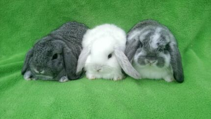 QUALITY CARE BABY MINI LOPS BLUE CHINCHILLA,CHOCOLATE, BLUE EYES Londonderry Penrith Area Preview