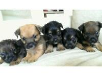 King Charles x mini yorkie puppies