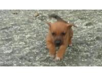 Gorgeous jack russel pups