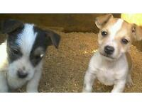 Jack russell pups.May deliver.