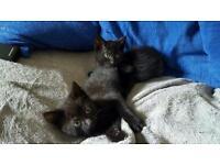 2 x 9 week old black kittens