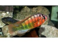 Job Lot Lake Malawi Cichlids Victorians
