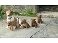 Gorgeous jack russel pups for sale