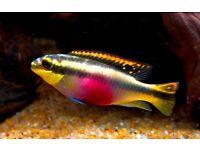 Kribensis Tropical Fish