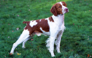 Viszla or Brittany Spaniel Wanted