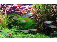 RUMMY NOSE TETRA & CARDINAL TETRA TROPICAL FISH