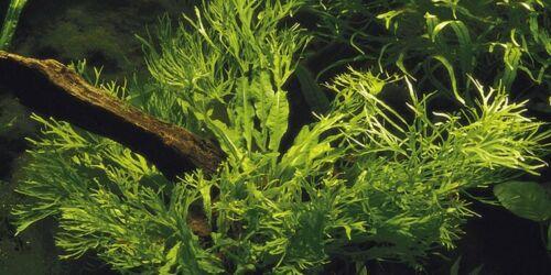 JAVA FERN MICROSORIUM WINDELOV ONE BUNDLE-Freshwater Aquatic Live Plants