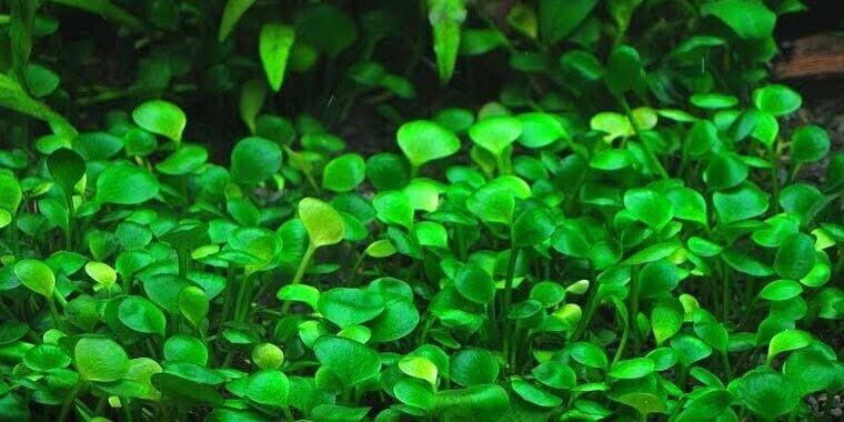 Marsilea Hirsuta Live Aquarium Plant Unique Ground Cover Pet Products Gumtree Australia Inner Sydney Erskineville 1252275338