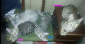 2 bengal x siamese kittens left, reduced