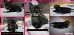 chatons bengal TICA (charcoal, lynx, mink et brown)