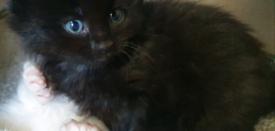 Black Long Hair Kitten